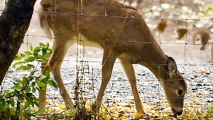 Outbreak of Rare Insect in Florida Keys Deer Drawing Concern