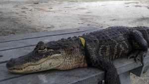 Woman Fights to Keep Pet Alligator 'Rambo' at Home