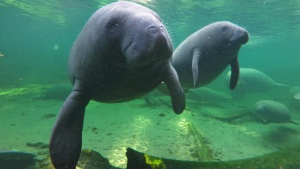 Manatee Appreciation Day Takes Place Wednesday