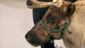 Reindeer Sprinkles on Live Television