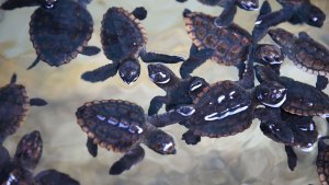 Baby Sea Turtles Washed Ashore After Matthew Now in Florida