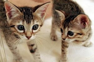 Foster Parents Wanted for Orphaned Kittens