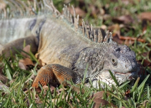 Miami Man Finds Iguana Lounging In Toilet