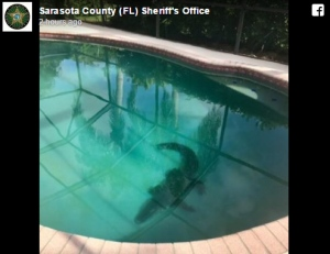 Florida Alligator Found In Swimming Pool