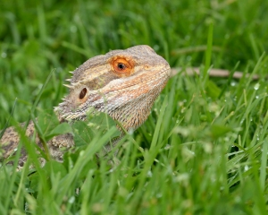 Pet Store Accidentally Sells Man's Bearded Dragon