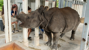 Zoo Miami's Endangered Indian Rhino 'Akuti' Is Pregnant