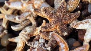 Starfish Piling Up on Panhandle Beaches