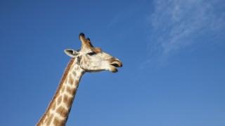 Woman Climbs Into Giraffe Exhibit, Gets Kick to the Face