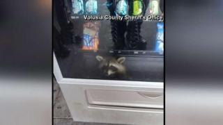 [MI] Raccoon Freed After Being Trapped in Vending Machine