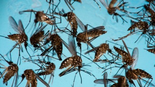 Mosquitoes Thrive in US, but Don't Blame Climate Change: Study