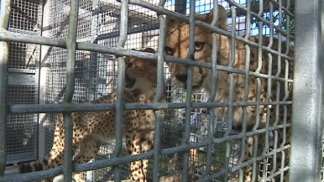 Cheetah Cubs Arrive at New Home: Zoo Miami