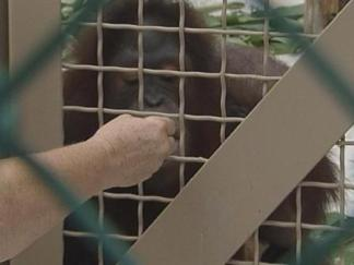 Chunky Monkey for Twin Orangutans on the Move