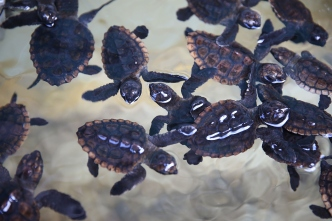 """Hands Off!"" on Sea Turtle Hatchlings: Officials"