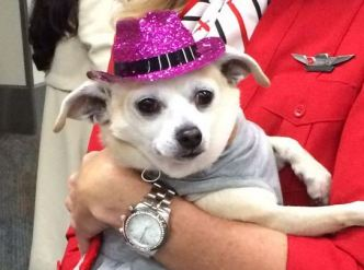 Virgin America Flies 12 Chihuahuas from SF to NY for Adoption