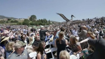 Dive-Bombing Pelicans Interrupt Graduation in Malibu