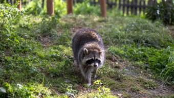 Caught on Camera: Raccoons Climb Up NYC Restaurant Wall