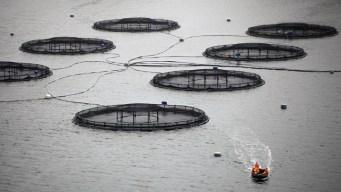 Fish Farming's Environmental Strides