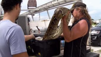 500 Snakes Caught and Killed in the Everglades