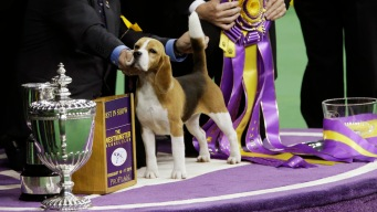 Beagle Takes Best in Show at Westminster