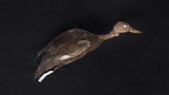 Duck Hunt: Man Still Searching for Pink Bird Thought Extinct