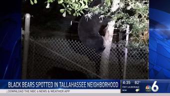 Black Bears Spotted in Tallahassee Neighborhood