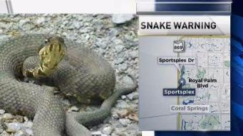 Cottonmouth Snakes on the Loose