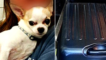 Chihuahua Found in Luggage at LaGuardia Airport