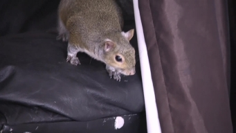 Tampa Man Faces Eviction Over Emotional Support Squirrel