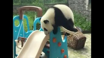 Panda Cub Dunks Itself Through Basketball Hoop