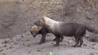 Flooding Likely Kills Palm Beach Zoo Bush Dogs