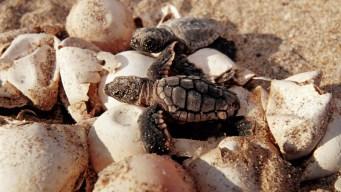 Florida Sea Turtle Nests Threatened By Hurricane Dorian