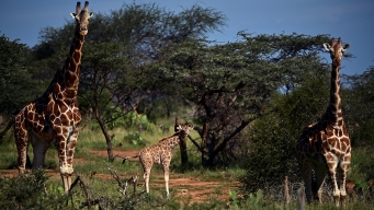 Giraffes Move Closer to Endangered Species Protection