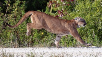 Endangered Florida Panther Hit, Killed by Vehicle