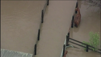 RAW: Horses Stranded in Rising Water