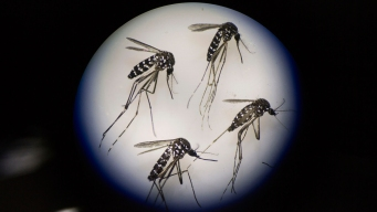 3 Mosquitoes on Miami Beach Test Positive For Zika