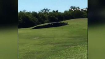 Massive Gator Roaming Florida Golf Course