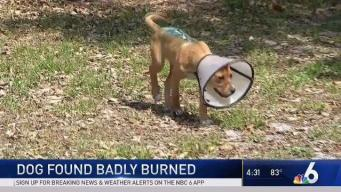 Puppy Found Badly Burned Recovering on Miami Beach