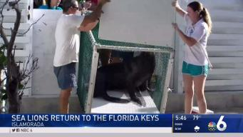 Sea Lions Return to Florida Keys After Irma