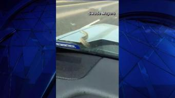 Snake Caught Coming Out From Hood of Car