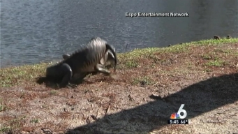 Gator Brawl Caught on Camera in Clearwater
