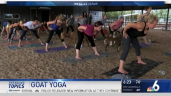 'Goat Yoga' Taking Health World by Storm