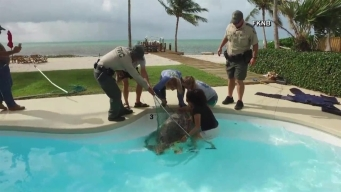 Sea Turtle Found In Keys Residential Pool Rescued, Released