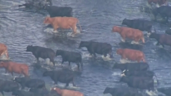 Hundreds of Cows Moved From Flooded Florida Ranch