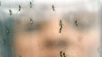 Yellow Fever in Africa Not a Public Emergency: WHO
