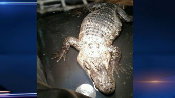 Repairman Finds 200-Pound Gator Kept in Basement for 26 Years