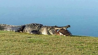 Massive Gator Spotted Again at Florida Golf Club