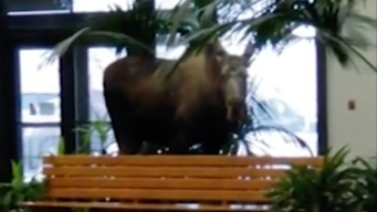 What's Up, Doc? Moose Wanders Into Alaska Hospital Building