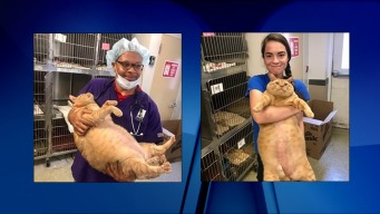 Tubby Tabby: 35-Pound Cat Adopted in DC