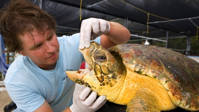 Logger head sea turtle being examined by Vet