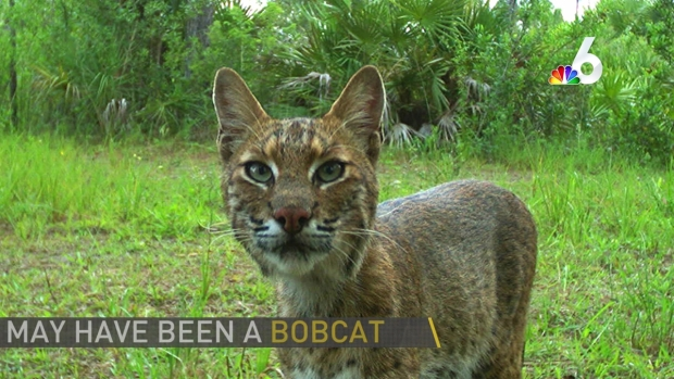 [MI] Possible Bobcat Attack in South Florida